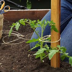Plant deep - Tomato Growing Tips - Sunset