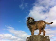 Great shot of a Border Terrier Terrier Breeds, Terrier Dogs, Best Dog Breeds, Best Dogs, Guy Pictures, Animal Pictures, Dog Varieties, Border Terrier, Brown Dog