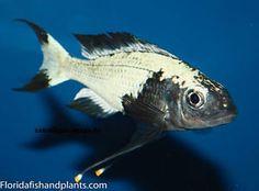 Many of our fish look far different as juveniles than they do as adults. Cichlid Aquarium, Aquarium Fish, Lake Tanganyika, Three Lakes, Aquarium Setup, African Cichlids, Living Water, Angel Fish, Freshwater Aquarium