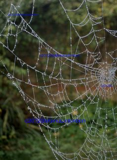 A spiderweb glistens with morning dew