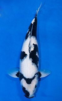 Fish Pond Supplies, Carpe Koi, Japanese Koi, Koi Carp, Types Of Animals, Predator, San Diego, Champion, Shiro