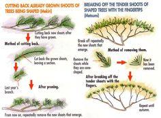 'How to Train Coniferous Bonsai' from Bonsai