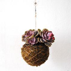 Planta suculenta, que pode ser colocada dentro ou fora de casa. Rega pouco regular.
