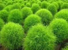 "Kinda love this plant! Kochia Scoparia Grass. I would feel like I lived in ""Whoville""."