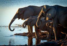 Elephants ~ Elefants