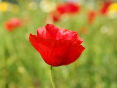 #bloom #blossom #blossoms #close #color #colorful #flower #food plant #klatschmohn #klatschrose #medicinal plant #mohngewaechs #open flower #ornamental plant #papaver #papaver rhoeas #papaveraceae #petals #poppy #po