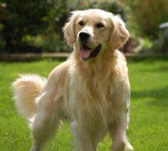 Google Image Result for http://www.dogchannel.com/images/zones/top_promo/golden-ret-grass-255px.jpg