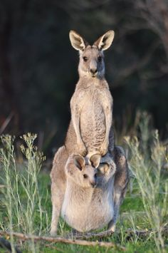 Eastern Grey Kangaroo and Joey - Wildlife, Beautiful & Amazing, Endangered, Flourishing - Nature Animals, Animals And Pets, Nature Nature, Cute Baby Animals, Funny Animals, Australia Animals, Tier Fotos, Animal Photography, Ocean Photography