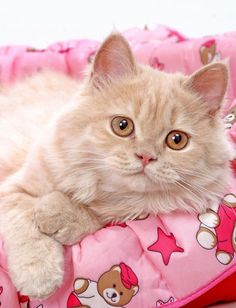 A cat on a Pink blanket with Teddies... aw