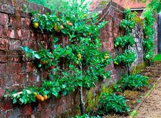 Espalier a fruit tree for small spaces.
