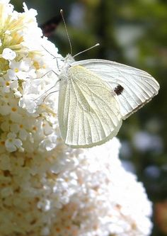 *White butterfly on a white butterfly bush