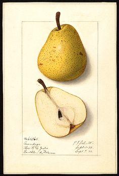 Artist: Ellen I. Vintage Botanical Prints, Botanical Drawings, Botanical Art, Vintage Prints, Fruit Illustration, Botanical Illustration, Pista Shell Crafts, Fruits Photos, Pyrus