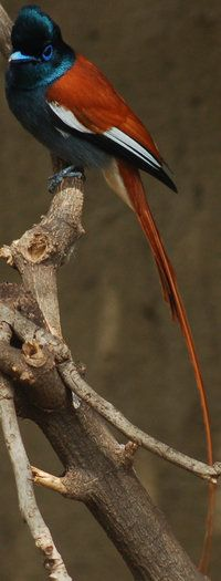 African Paradise Flycatcher.
