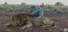 """8.000 leones criados en cautividad para que les disparen los peores cazadores El Congreso Mundial de la Naturaleza pide la prohibición, en especial en Sudáfrica, de la """"repugnante"""" actividad conocida como caza enlatada"""