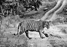 Tribal people's presence helps protect tigers