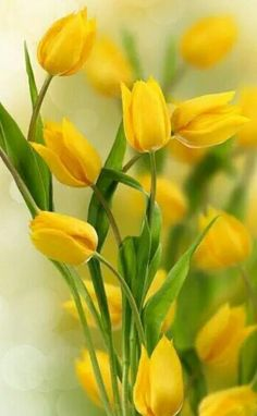 Yellow tulips iphone 5 hd wallpaper cell phone wallpaper and poster of tulip flowers border nature posters thecheapjerseys