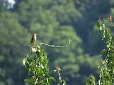 カワラヒワ. Oriental Greenfinch . 23 June 2017.