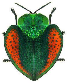 Escarabajo; Chrysomelidae