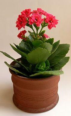 Dora The Explorer, Cactus Plants, Planter Pots, Rose, Nature, Gardening, Small Vegetable Gardens, Recipes, Plants