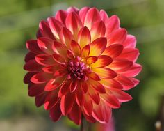Decorative Dahlia 'Balance'
