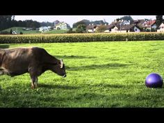 Cows are incredibly curious and fascinating animals. We tested how they react to a big gymnastic ball and this was the outcome. Tell us which Cow-Video you w. Bend It Like Beckham, Lionel Messi, Cow, Play, Film, Animals, Swiss Guard, Movie, Films
