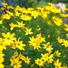 barrenwort Long Blooming Perennials, Flowers Perennials, Impatiens Flowers, Hardy Perennials, Planting In Clay, Planting Flowers, Perennial Geranium, Perennial Grasses, Blue Oat Grass