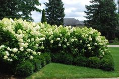 Limelight hydrangeas. They can get as high as 8 feet tall and they're easy to care for and maintain. Great shrubs for the landscape.
