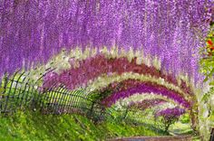Beautiful Places To See- The Wisteria Tunnel at Kawachi Fuji Gardens, in Kitakyushu, Japan Amazing Places On Earth, Heavenly Places, Places Around The World, Beautiful Places, Around The Worlds, Beautiful Flowers, Beautiful Pictures, Le Tunnel, Tunnel Of Love