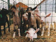 las chivas #Adirondack #animals