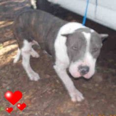 SAFE --- MAX (A1674406) I am a male gray and white Staffordshire Bull Terrier.  The shelter staff think I am about 1 year old.  I was found as a stray and I may be available for adoption on 01/27/2015. —  Miami Dade County Animal Services. https://www.facebook.com/urgentdogsofmiami/photos/pb.191859757515102.-2207520000.1422091910./915121981855539/?type=3&theater ++++++++++SWEET and FRIENDLY+++++++