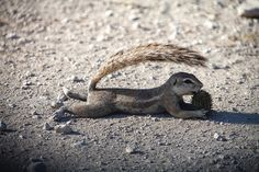 Ground squirrel shading himself - Namibia. The Cape ground squirrel (Xerus inauris)