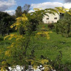 """Żółta dominanta w ogrodzie o malowniczym pokroju - Glediczja """"Sunburst"""". Jest to malownicze o złocistym zabarwieniu liści drzewo."""