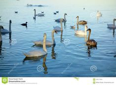 Photo about A classic image of many swans some brown and some white on a lake in Switzerland gathering together as the light of sunset hits the flock. Image of many, ripples, sunset - 105777324 Some Beautiful Images, White Lake, Classic Image, Switzerland, Swimming, Stock Photos, Bird, Sunset, Animals