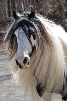 Gypsy Horse...  http://www.cowboymagic.com /