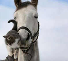 Cats and their horses. Gotta love horses and cats. My first experience seeing this was with a friend at the barn where her horse lodged. The cats would sleep on the horses. So cute! Pretty Horses, Horse Love, Beautiful Horses, Animals Beautiful, Simply Beautiful, Gray Horse, Majestic Animals, Beautiful Life, Beautiful Creatures