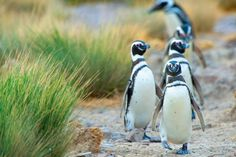 Magellanic Penguins & 20 endangered animals you should see before they're gone - Matador Network