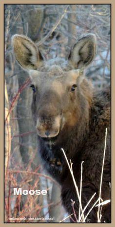 Moose, Southeastern Saskatchewan, Feb 2018. Credit: Nelson Draper Canadian Wildlife, Moose, Blog, Photos, Animals, Image, Pictures, Animales, Animaux