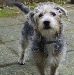 Jack Tzu Information and Pictures Jack Russell Terrier Shih Tzu Hybrid Dogs  Matt wants a dog like this