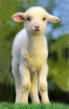 Agneau ~ Lamb