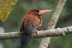 Foto sovela-vermelha (Galbalcyrhynchus purusianus) por Tomaz Melo