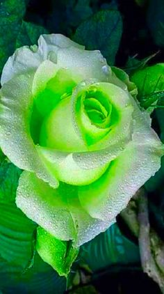 color my world Flowers Gif, Rare Flowers, Flowers Nature, Exotic Flowers, Green Flowers, Beautiful Flowers Wallpapers, Beautiful Flowers Garden, Amazing Flowers, Beautiful Roses