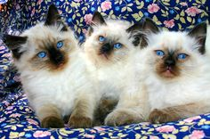 Seal colorpoint ragdoll kittens