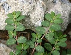 Prostrate Spurge (Spotted Spurge) – Identification and Control | Walter Reeves: The Georgia Gardener