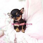 Such a perfect baby doll.  Black and Tan short hair chi princess:heart:️ #chihuahua #chihuahuas #luxpup #puppygram # dogstagram #petstagram #instachi #puppies #cutepuppies #trendingnow #chihuahualove #chihuahualover #chihuahuasofinstagram #chihuahuafanati by LuxPup