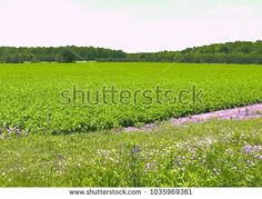Summer countryside with purple flowers. Spring.