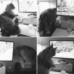 Serefina. Maine coon cat. Watching 'Videos For Cats' on YouTube. She looks behind the monitor when the birds & squirrels disappear!