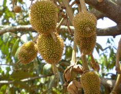 Durian Fruit Tree - Make sure to visit GardenAnswers.com and download our free plant idenfication app.