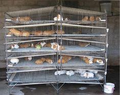 Guinea Pig Breeding, Pet Guinea Pigs, Rabbit Farm, Rabbit Cages, Meat Rabbits, Raising Rabbits, Livestock Farming, Rabbit Hutches, Quail