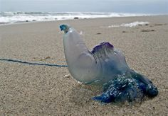 A blue jelly fish washed out on the shore.