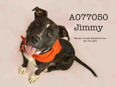 Jimmy - URGENT - located at Manatee County Animal Services in Palmetto, Florida - ADOPT OR FOSTER - Neutered Male Pit Bull - AT SHELTER SINCE FEBRUARY 25, 2016 - What a happy, fun and friendly boy! He is loves his time playing in the yard with his toys and you! He is a Playgroup Rockstar with other dogs! He also is a very attentive and quick learner. He knows basic commands and a few tricks too!